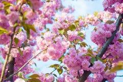 Красивое цветение Сакуры вишни весны с увядать внутри к пастельной розовой предпосылке стоковая фотография rf