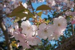 Красивое цветение Сакуры Стоковая Фотография