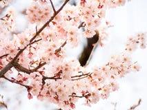 Красивое цветение 6 Сакуры Стоковые Фотографии RF