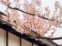 Красивое цветение 5 Сакуры Стоковая Фотография