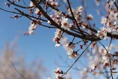 Красивое цветение сливы Стоковые Изображения