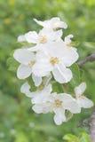 Красивое цветение яблока на дереве Стоковые Изображения RF