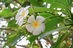 Красивое цветка Plumeria белое желтое на дереве (общем poc имени Стоковое фото RF