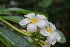 Красивое цветка Plumeria белое желтое на дереве (общем poc имени Стоковые Изображения