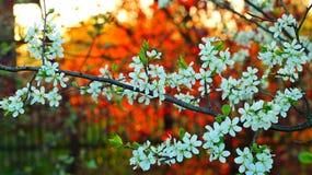 красивое цветя грушевое дерев дерево на предпосылке красной лещины Стоковые Изображения