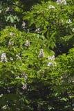 Красивое цветя дерево каштанов в раннем лете Стоковое фото RF