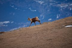 Красивое шамуа бежать в горе Пиренеи стоковое изображение rf