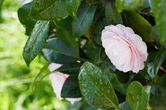 Красивое японское цветение камелии Стоковые Фото