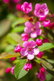 Красивое blossoming вишневое дерево Стоковые Изображения RF