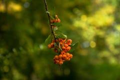 Красивое Bokeh firethorn стоковые изображения rf