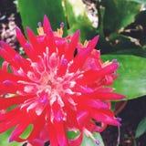 Красивое Bromeliad Стоковое Изображение RF