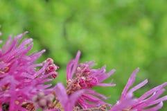 Красивое Loropetalum Chinense стоковое фото rf