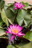 Красивое Lotus4 Стоковое Изображение RF