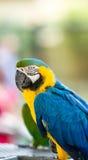 Красивое maccaw на Aviary, Йоханнесбурге Стоковая Фотография RF