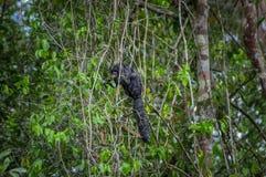 Красивое monachus Pithecia обезьяны saki, сидя на ветви внутри тропического леса Амазонки в национальном парке Cuyabeno Стоковые Изображения RF