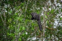 Красивое monachus Pithecia обезьяны saki, сидя на ветви внутри тропического леса Амазонки в национальном парке Cuyabeno Стоковое Фото