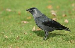 Красивое monedula Corvus галки стоя на траве Стоковые Изображения RF