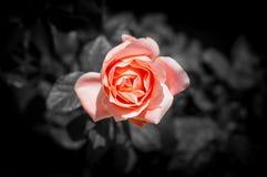 Красивое Pinky подняло для вашей влюбленности Стоковая Фотография
