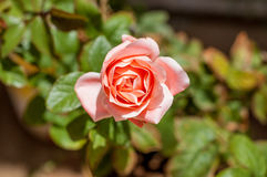 Красивое Pinky подняло для вашей влюбленности Стоковая Фотография RF
