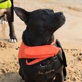 Красивое pitbull Стоковая Фотография