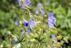 Красивое ` Pratense гераниума ` Wildflower стоковое фото rf