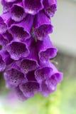 Красивое purpurea наперстянки колоколов Стоковая Фотография RF