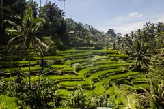 Красивое ricefield в центральном Бали, интерес деревни Ubud Стоковые Фотографии RF