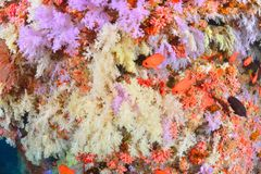 Красивое softcoral и Soldierfishes стоковые изображения