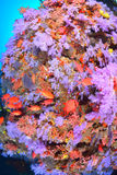Красивое softcoral стоковые изображения
