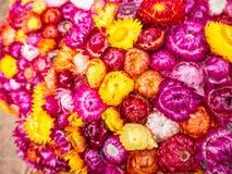 Красивое strawflower, сухой цветок Стоковые Изображения