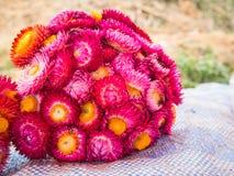Красивое strawflower, сухой цветок Стоковые Изображения RF