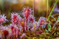 Красивое sundew Стоковая Фотография RF