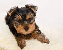 Красивое terrie Йоркшира щенка Стоковые Фото