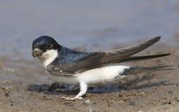Красивое urbica Delichon Мартина дома собирая грязь в своем клюве делает свое гнездо Стоковое фото RF