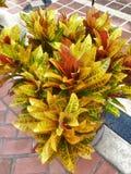 Красивое variegatum Codiaeum красочное с зелеными, красными и желтыми листьями для предпосылки стоковая фотография rf
