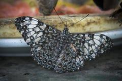 Красивой бабочка зашнурованная чернотой Стоковая Фотография RF