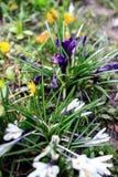 Красивой цветки покрашенные весной в саде Стоковое Изображение RF