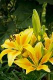 Красиво зацветая желтая лилия в саде Стоковые Изображения
