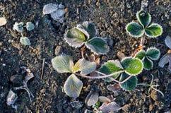 Красиво, который замерли листья клубники Стоковое Изображение RF