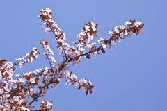 Красиво blossoming рыжеватое цветение сливы Справочная информация текстура Стоковое Изображение