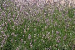 Красивые лаванды в поле Стоковые Изображения RF