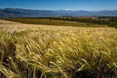 Красивые андийские пшеничные поля в Cochasqui Стоковое Изображение RF