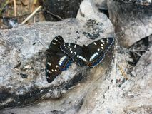 Красивые бабочки на камнях в ручьях Olenyi природного парка в области Свердловска стоковые фотографии rf