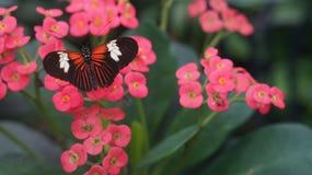 Красивые бабочки Heliconius adoris бабочки Стоковая Фотография RF