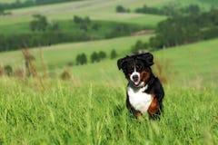 Красивые бега собаки горы Bernese Стоковые Фото