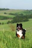 Красивые бега собаки горы Bernese Стоковое Изображение RF