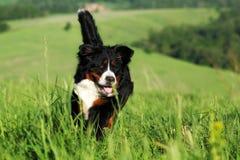 Красивые бега собаки горы Bernese Стоковые Изображения RF