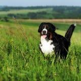 Красивые бега собаки горы Bernese Стоковые Фотографии RF