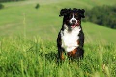 Красивые бега собаки горы Bernese Стоковые Изображения