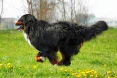 Красивые бега собаки горы Bernese Стоковое фото RF